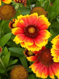 Indian blanket flowers