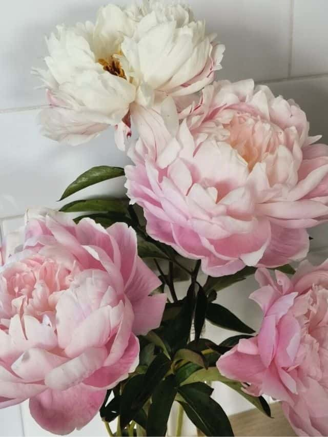 blush colored peonies