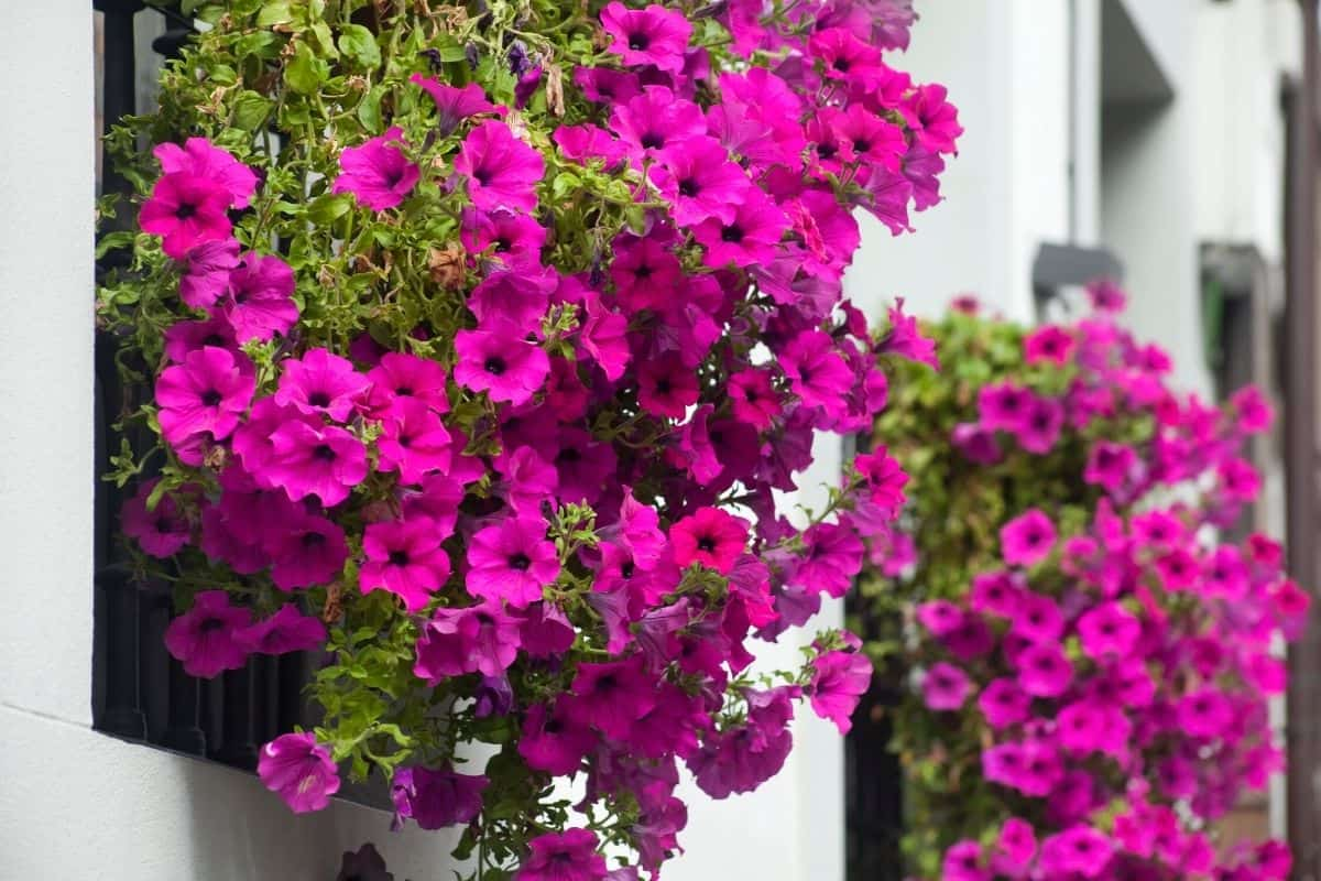 a window box filled with hot pink petunias