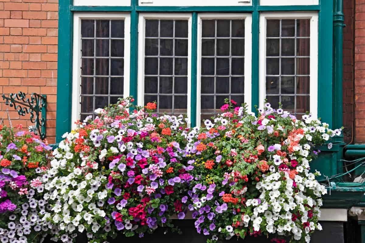 window box filled with colorful petunia flowers