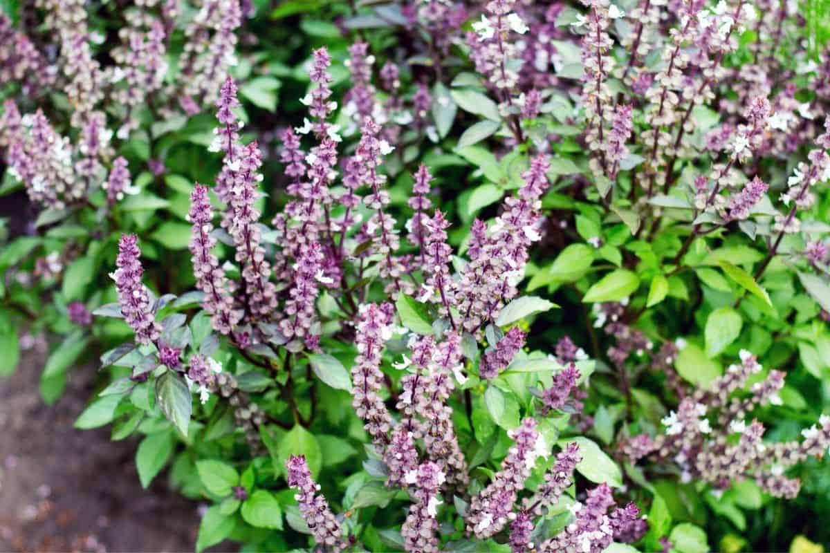 purple basil flowers