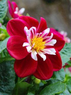 bright red comlumbine flower