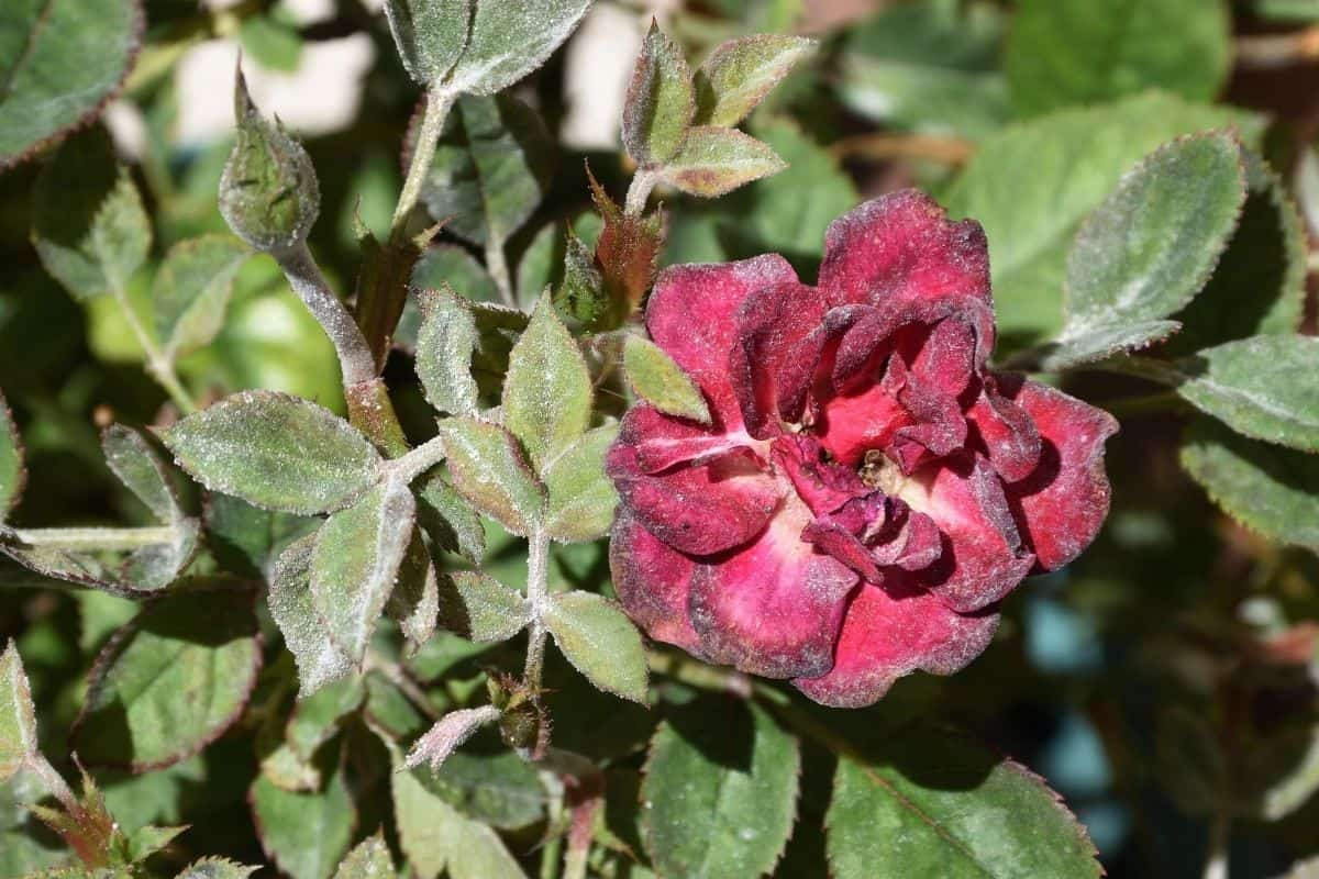 rose attacked by powdery mildew