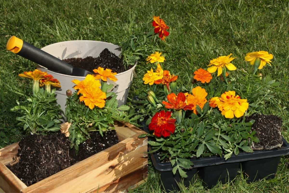 small marigold plants ready to plant in the garden