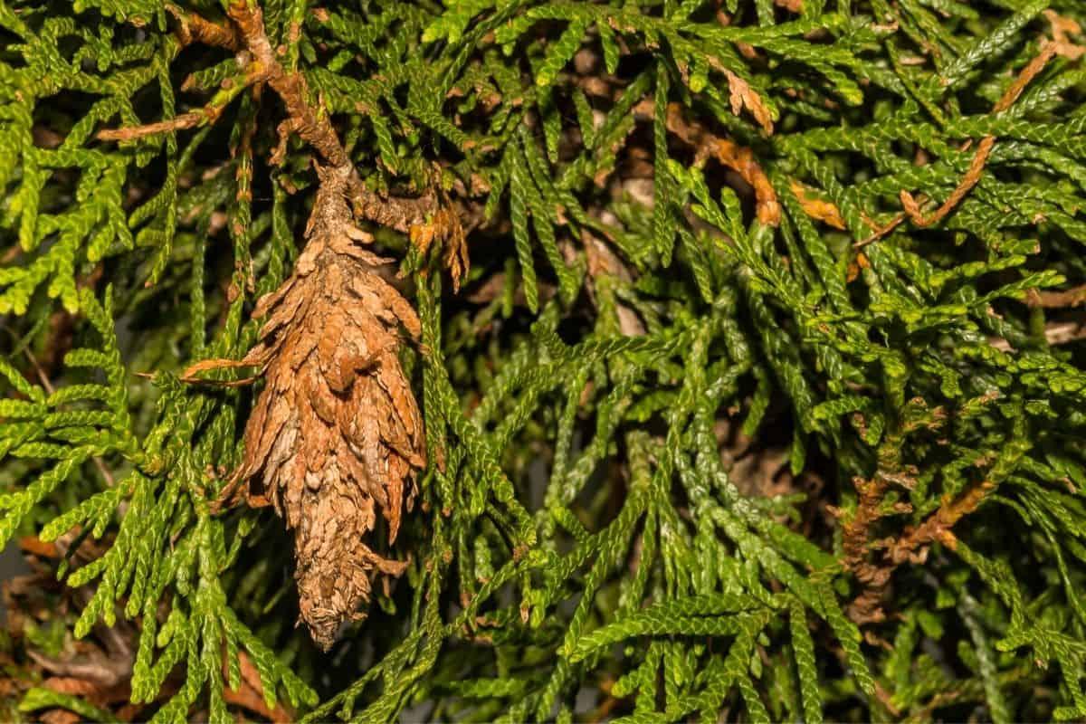 bagworm bag in evergreen tree