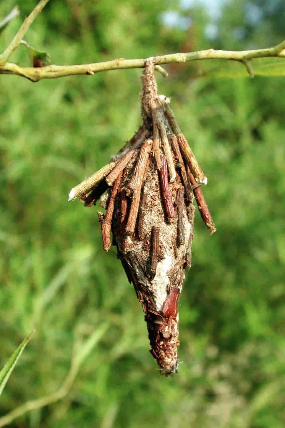 bagworm pouch hanging from a tree branch