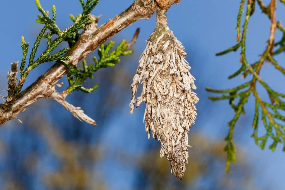 evergreeen tree attacked by bagworms