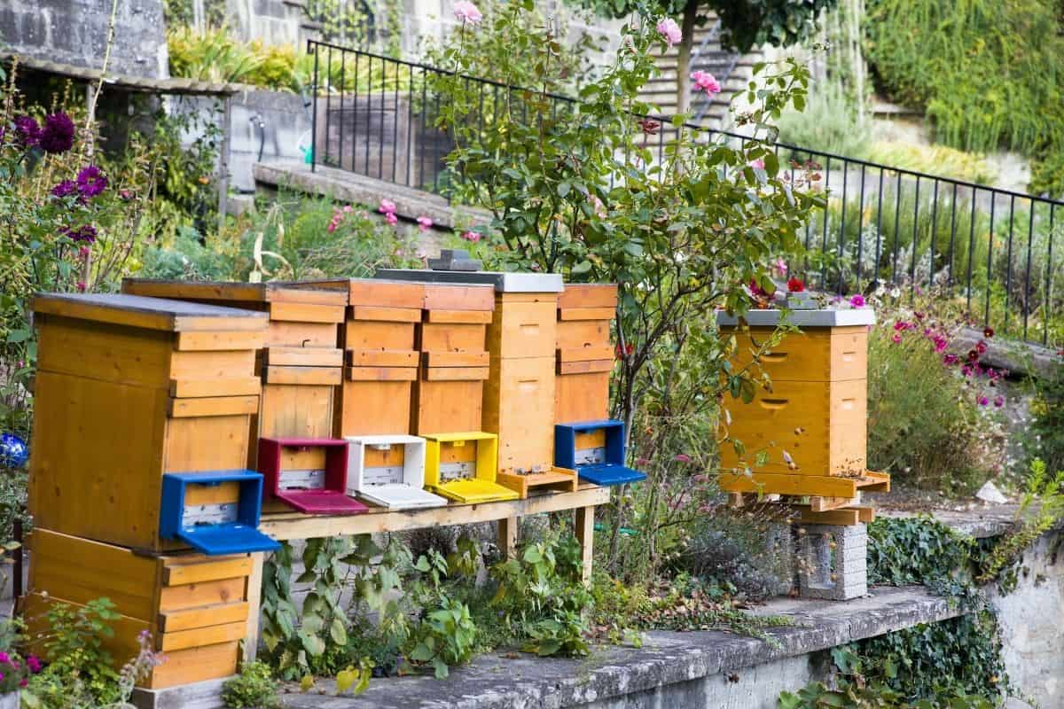 beehives in the backyard