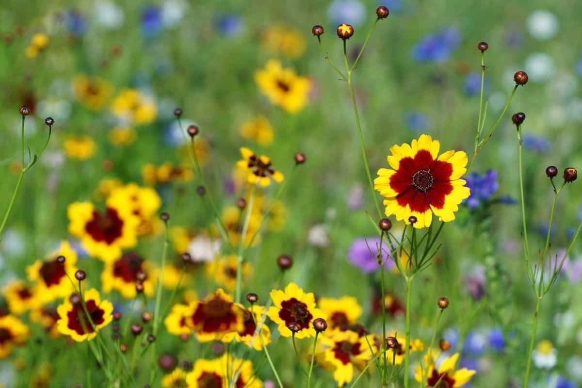 common tickseed flowers