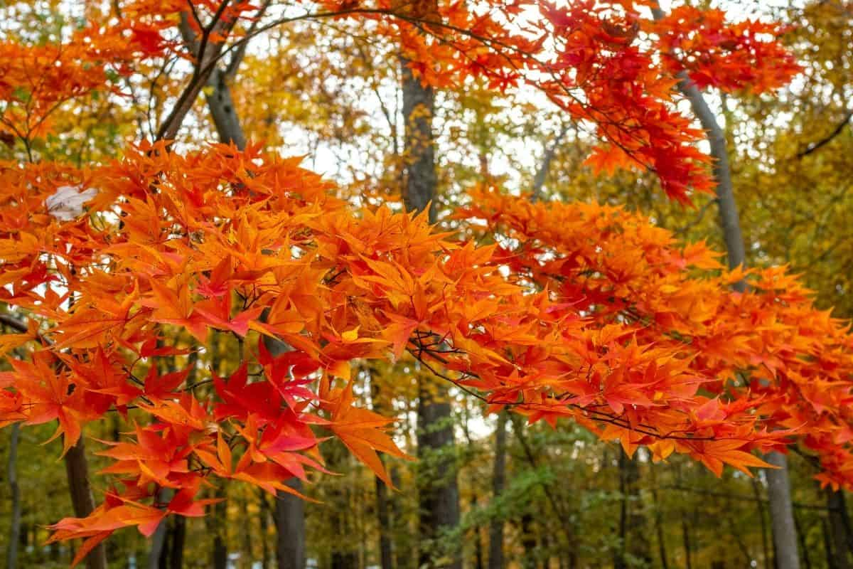 bright orange maple tree leaves in the fall