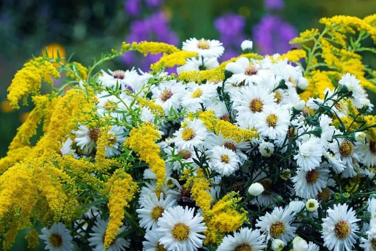 false aster flowers