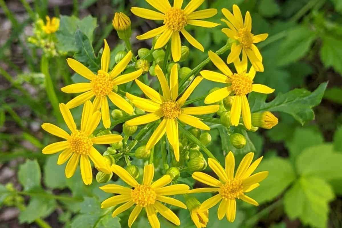 golden ragwort flowers